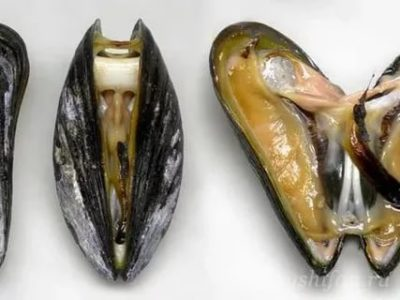 Можно ли есть моллюсков во время поста